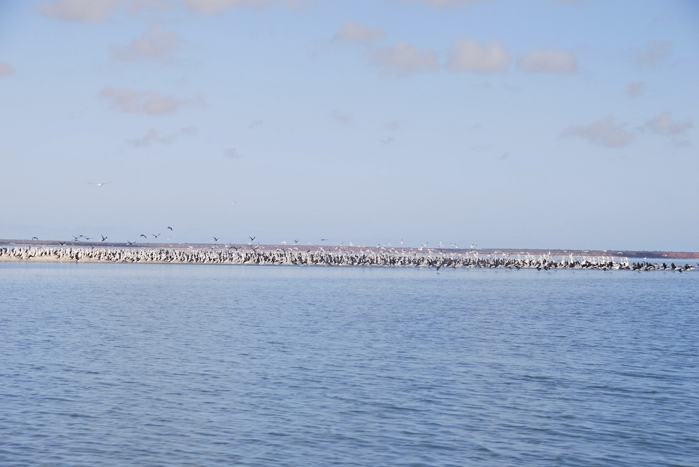 Gulls, pelicans and shags on a sand spit.