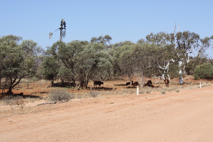 Cobra Station cattle in the shade.