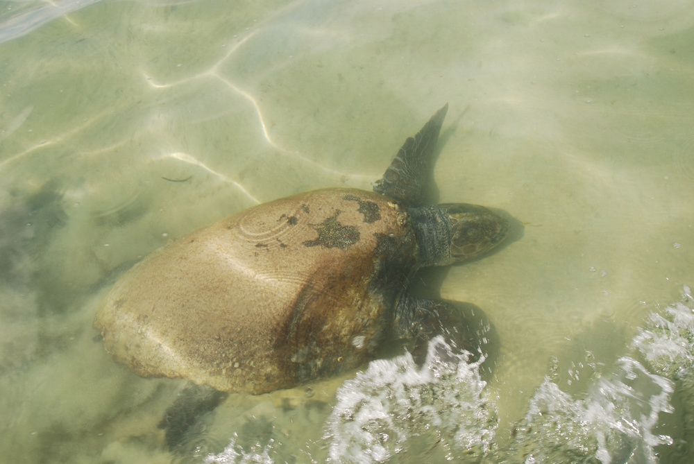 Loggerhead turtles breed in Shark Bay.