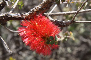 Granite Bottlebrush (Melaleuca elliptica).