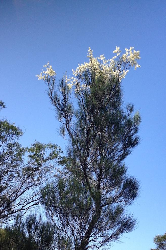 Grevillea nematophylla