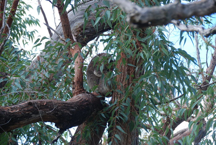 The koala is a arboreal herbivorous marsupial native to Australia.