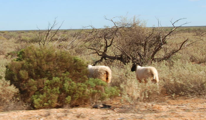 Dormer-Merino cross sheep.