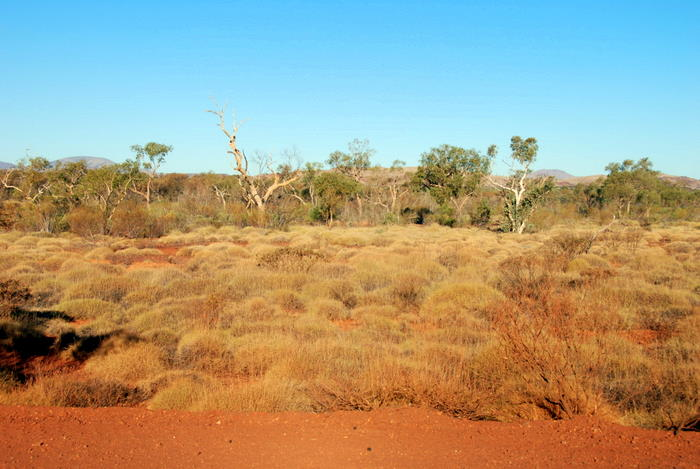 Spinifex.
