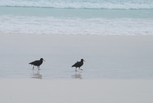 Sooty Oystercatchers at Lucky Bay.