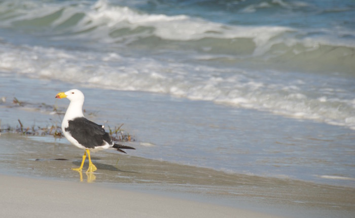 A Pacific Gull on the beach.