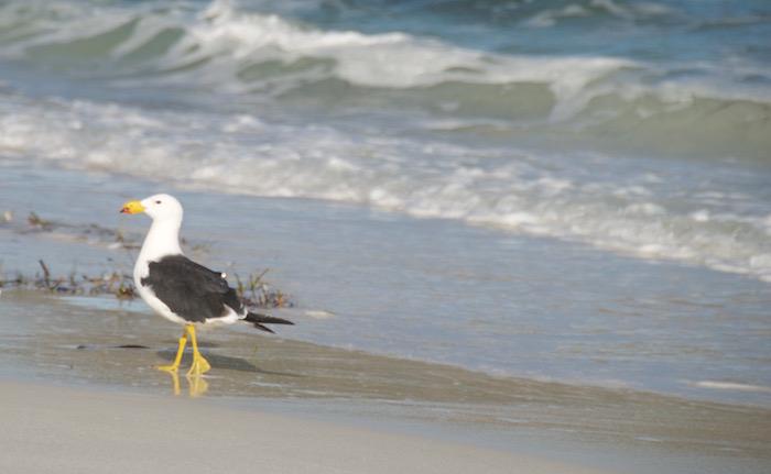 A Pacific Gull on the beach.