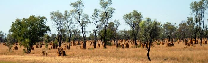 Termite mounds, up to three metres high, are a defining feature of the northern Australian landscape. The spinifex termite builds large globular mounds common around Broome.
