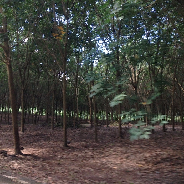 Rubber plantations