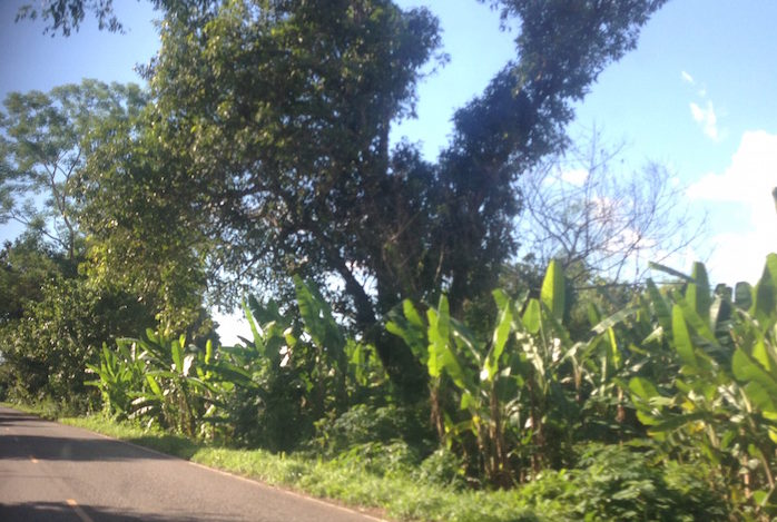 is lined with banana trees