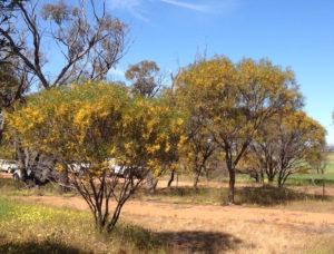 Wattle trees