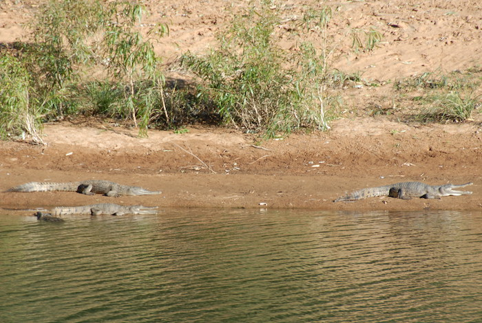 Crocodylus Johnstoni