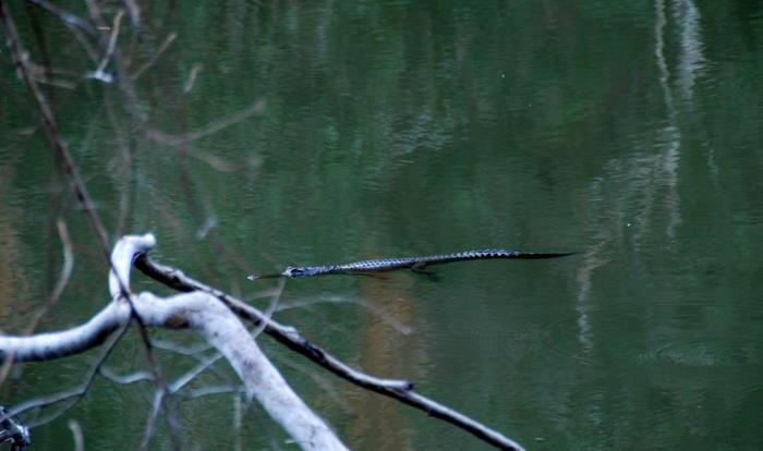 Johnston crocodile