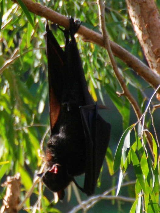 Black Flying Fox or Black Fruit Bat (Pteropus alecto).