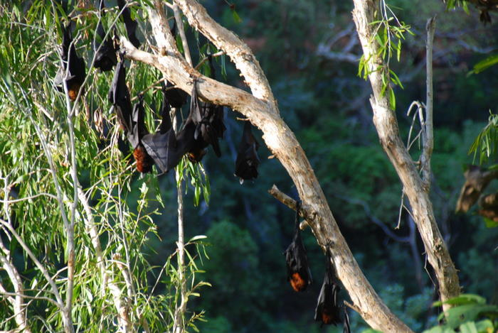 Colonies of the bats can number tens of thousands.