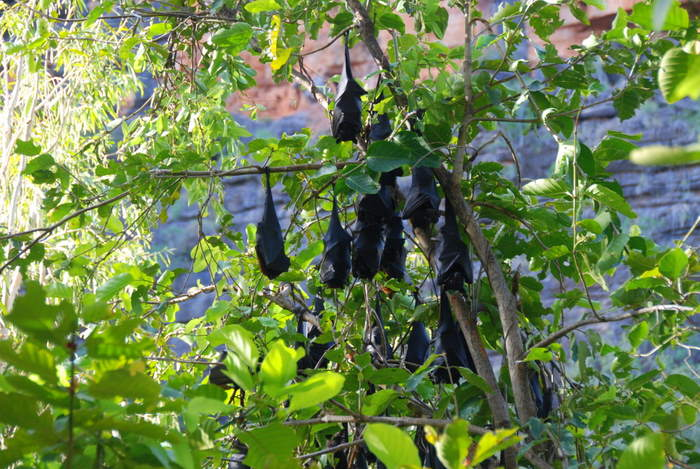 Black Flying Foxes or Black Fruit Bats (Pteropus alecto).