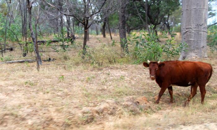 No fences in the rangelands so wandering cattle were an ever present hazard.
