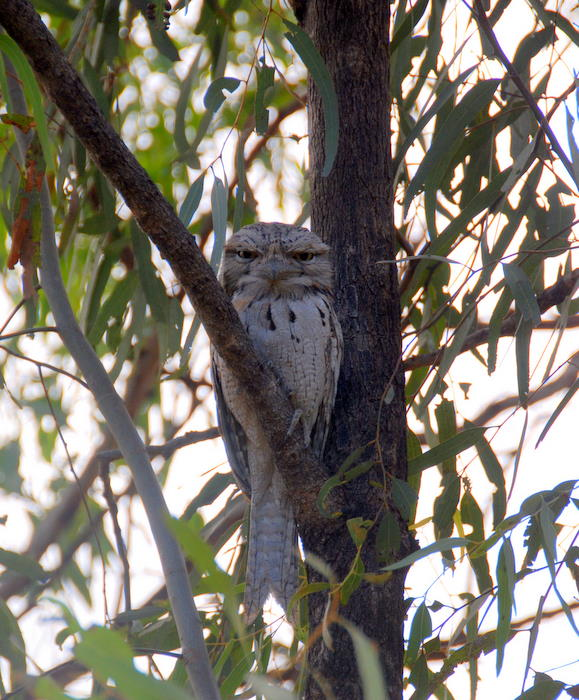 Tawny Frogmouth at our campsite.