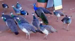 Peacocks at Sandfire Roadhouse.