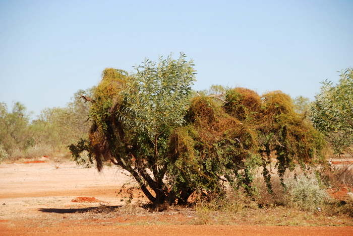 This is the dodder creeper from the Cassytha genus. They are a parasite and can smother the host plant.
