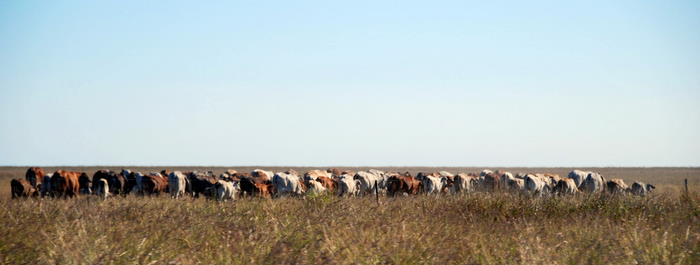 Cattle on the Roebuck Plains