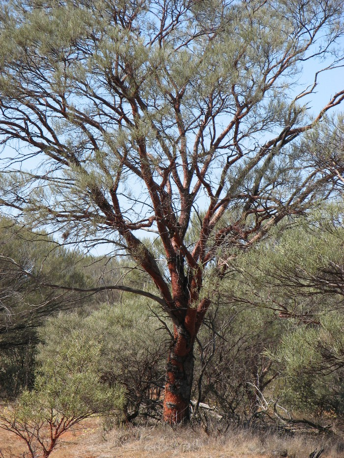 Mini Ritchi tree (acacia grasbyi)