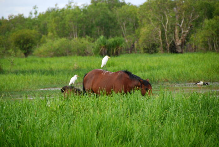 Cattle Egret on horse at Yellow Water.