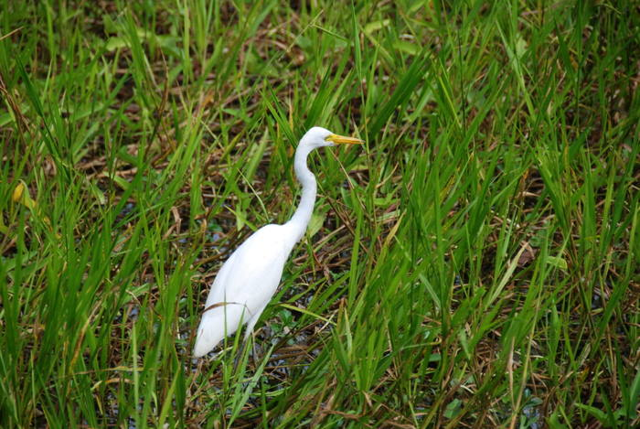 Egret at Yellow Water.