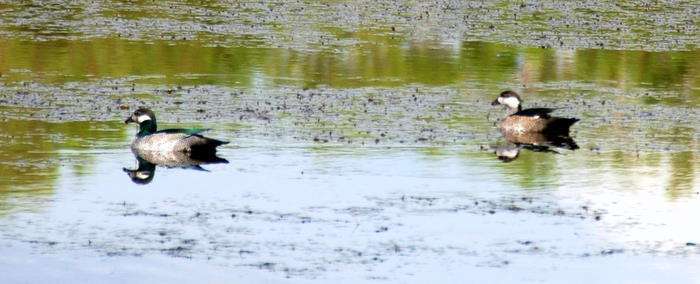 Green pygmy geese