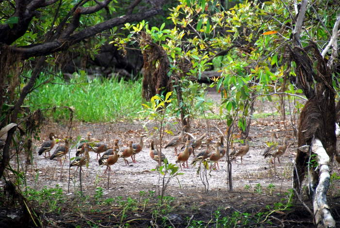 Whistling Ducks at Yellow Water