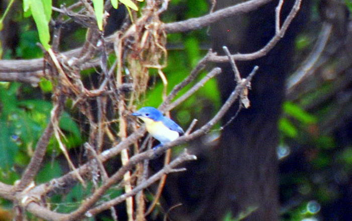 Kakadu Blubird