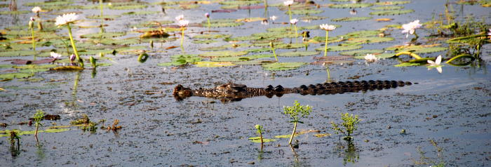 Croc among the water lilies.