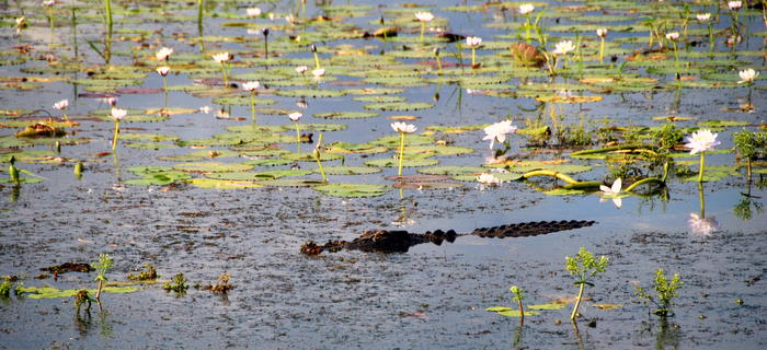 Crocodile in the Yellow Water lagoon.