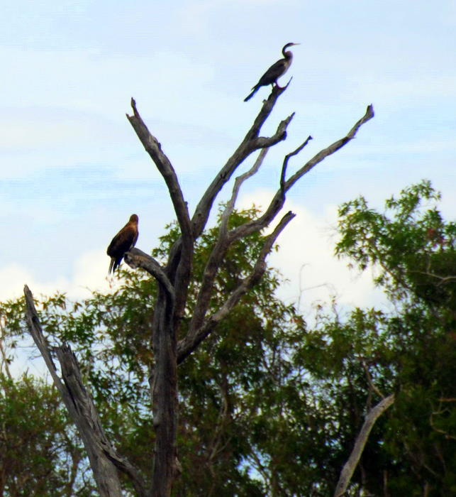 Darter and eagle in tree.