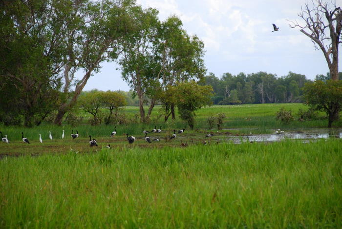 Magpie geese with egrets.