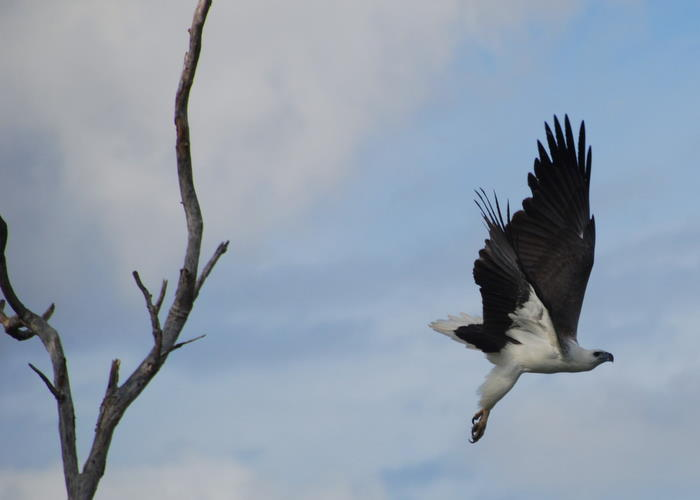 Sea Eagle taking off.