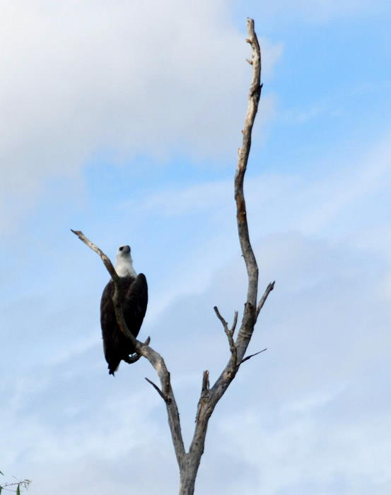 Sea Eagle in tree.