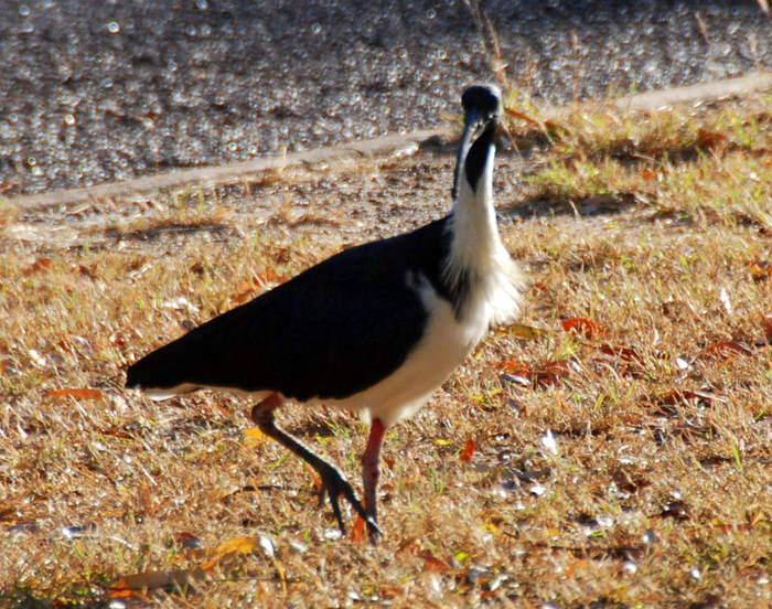 Straw neck ibis