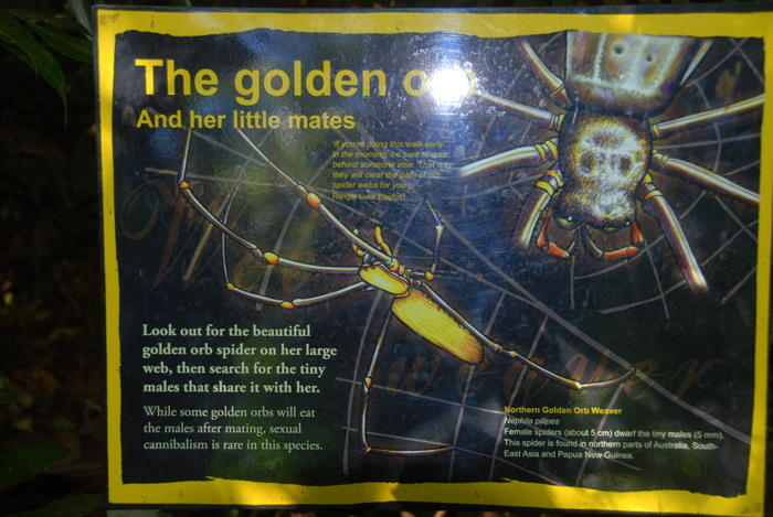 The golden orb spider at Wangi.