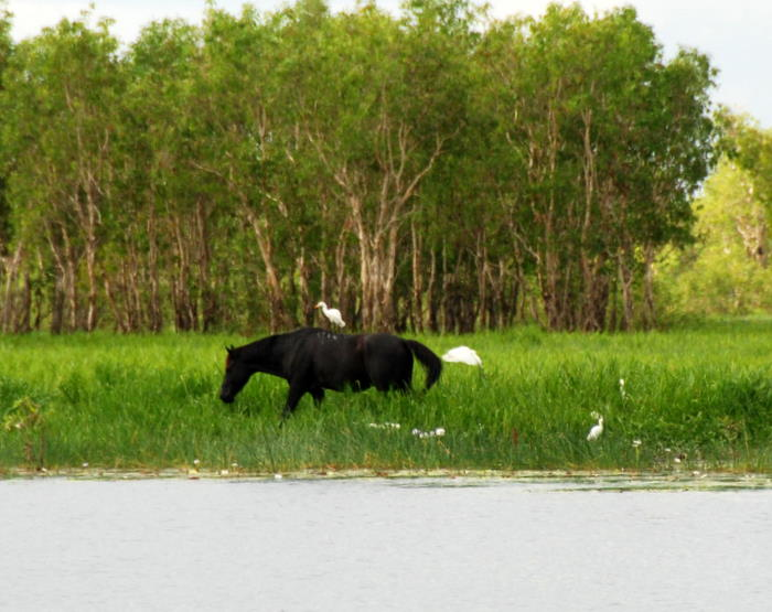 Wild horse with insect eating egret.