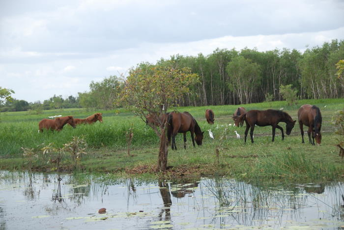 Wild horses at Yellow Water.