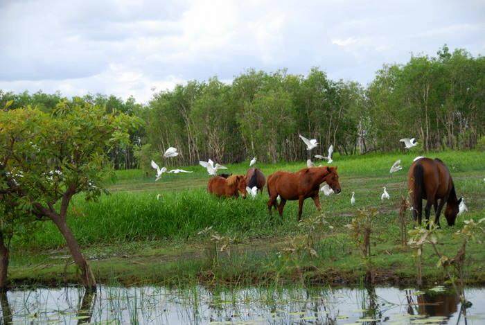 Wild horses and egrets.