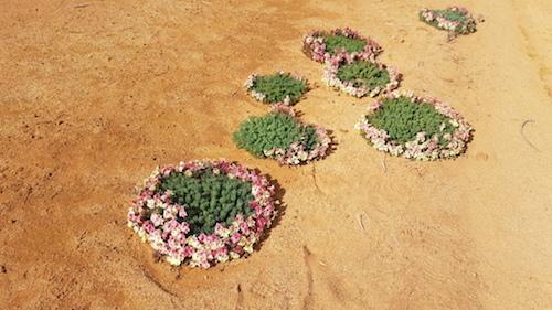 Wreath Flowers (Lechenaultia macrantha).