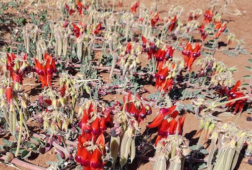 Sturts Desert Pea (Swainsona Formosa).
