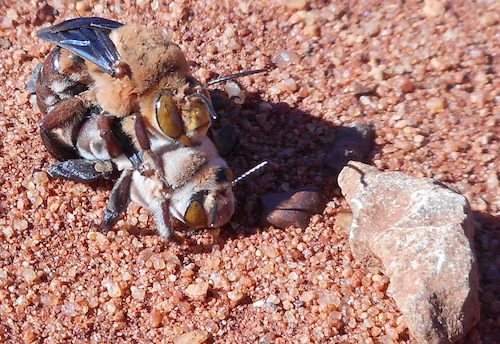 Dawson burrowing bees mating.