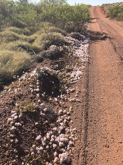 A different Mulla Mulla lines the track to Running Waters. This Mat Mulla Mulla (Ptilotus axillaris) is a very common creeping plant in the Pilbara.