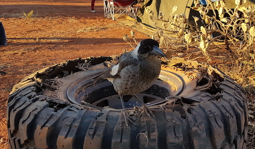 This young magpie totally destroyed Eugene's tyre.