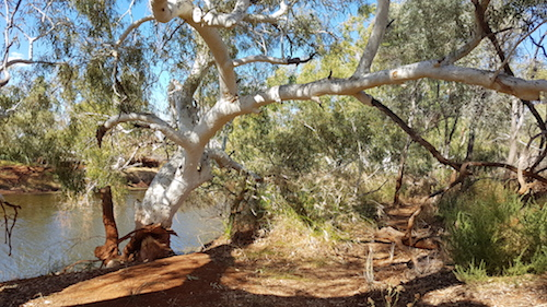 River Redgum