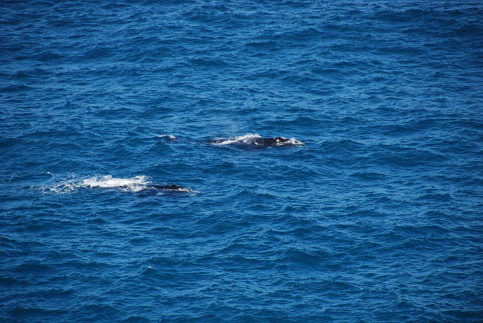 Whales in the Great Australian Bight south of Nullarbor Roadhouse.