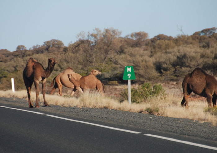 Feral camels north of Marla.